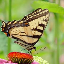 MTBobbins Photography - July Swallowtail