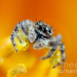 Brandon Alms - Jumping Spider