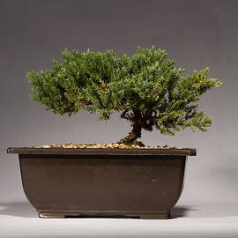 Darrell Hutto - Juniper Bonsai