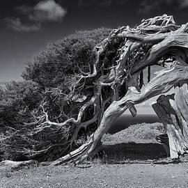 Roland Krawulsky - Juniper Tree