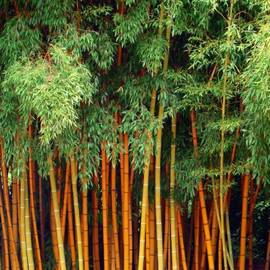 Sue Melvin - Just Bamboo