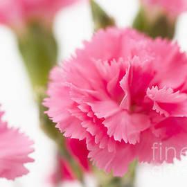 Anne Gilbert - Just Carnations