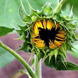 Karen  Majkrzak - Intricacies of a Sunflower