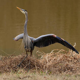 Paul Lyndon Phillips - Juvenile Great Blue Heron alerting skyward - 9952a