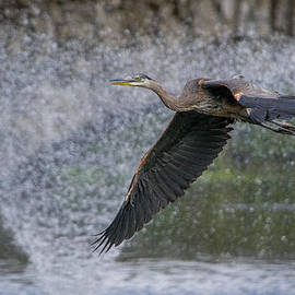 Colleen Toohy - Juvenile Great blue Heron in flight