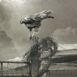 R christopher Vest - Juvenile Redtail On Post With Barbed Wire