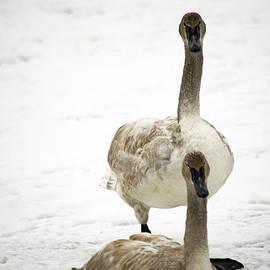 Elaine Mikkelstrup - Juvenile Trumpeter Swan Pair