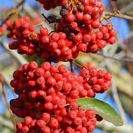 Rumyana Whitcher - Kalina Red Berries