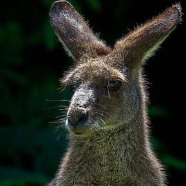 Mr Bennett Kent - Kangaroo Portrait