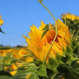 Gary Gingrich Galleries - Kansas Sunflower - 2539