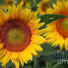 Gary Gingrich Galleries - Kansas Sunflowers - 2597