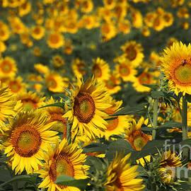 Gary Gingrich Galleries - Kansas Sunflowers - 2601