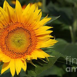 Gary Gingrich Galleries - Kansas Sunflowers - 2639