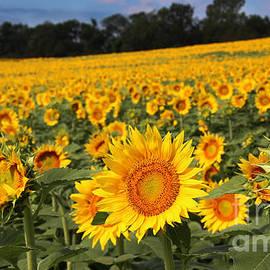 Gary Gingrich Galleries - Kansas Sunflowers - 2655