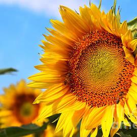 Gary Gingrich Galleries - Kansas Sunflowers-2475