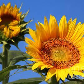 Gary Gingrich Galleries - Kansas Sunflowers-2488