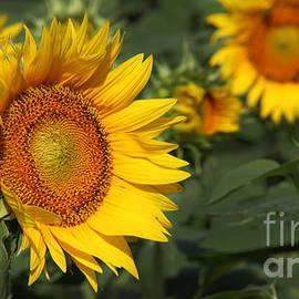 Gary Gingrich Galleries - Kansas Sunflowers-2604