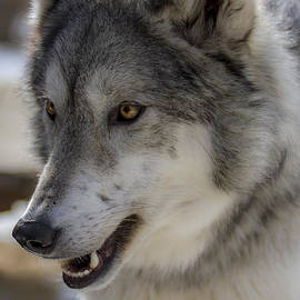 Dan Panattoni - Kaya Smiling Wolfdog