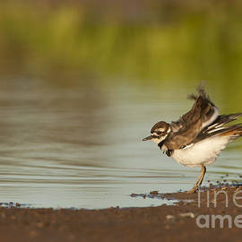 Bryan Keil - Killdeer fluffing up