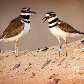 Bob Hislop - Killdeer Pair