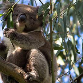 Carlos Cano - Koala Australia