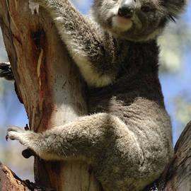Bob Christopher - Koala