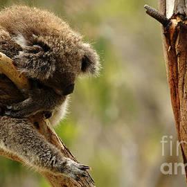 Bob Christopher - Koala Sleeping It Off In Australia