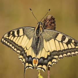 Marc Crutzen - Koninginnenpage or swallowtail
