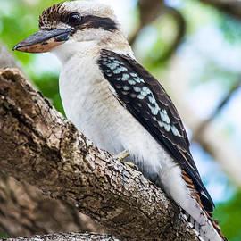Parker Cunningham - Kookaburra