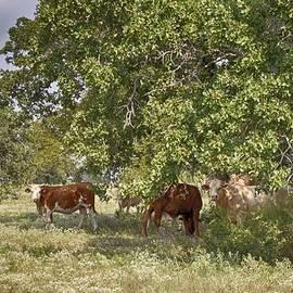 Kristina Deane - Texas Cattle