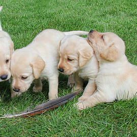 Jennie Marie Schell - Labrador Retriever Puppies and Feather