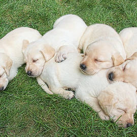 Jennie Marie Schell - Labrador Retriever Puppies Nap Time