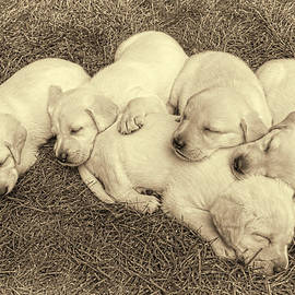 Jennie Marie Schell - Labrador Retriever Puppies Nap Time Vintage