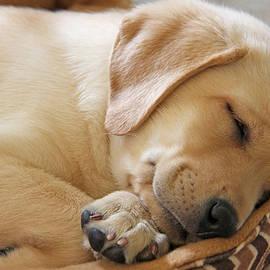 Jennie Marie Schell - Labrador Retriever Puppy Nap Time