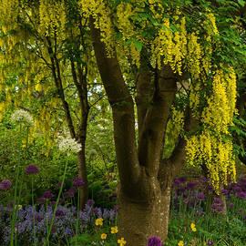 Jordan Blackstone - Laburnum Tree in Bloom
