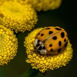 Paul Freidlund - Lady Bug