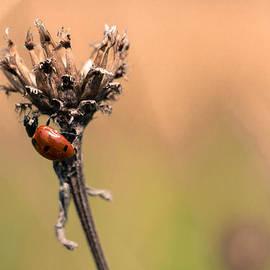 Timothy Lens Attack - Lady Ladybug