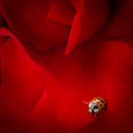 Peta Thames - Ladybird in Rose