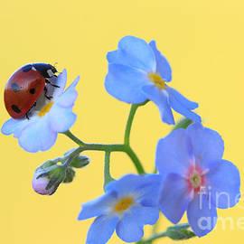 Kent Abrahamsson - Ladybug