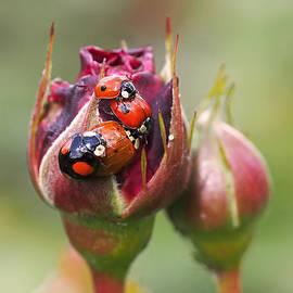 Rona Black - Ladybug Foursome