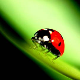 Galina Grigoreva - Ladybug