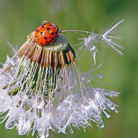 Lynne McClure - Ladybug on Dandelion