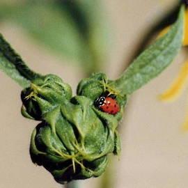 Diane Backs-Mancuso - Ladybug on Sunflower Bud