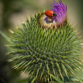 Janis Knight - Ladybug On Thistle
