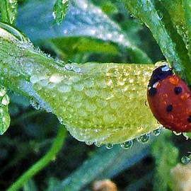 George Bostian - Ladybug with Dewdrops 004