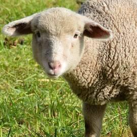 Roxanne Janson - Lamb Closeup in the Vineyard