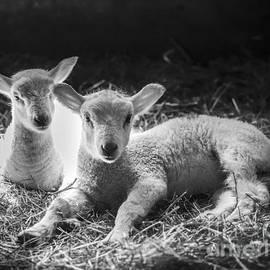 Alana Ranney - Lambs
