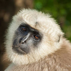 Nila Newsom - Langur Monkey Up Close