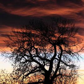 Dana Bechler - Large Cottenwood At Sunset