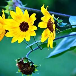 Karen  Majkrzak - Last of the Sunflowers